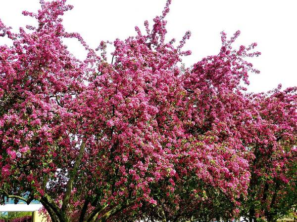 Wall Art - Photograph - Cherry Blossoms 2 by Will Borden