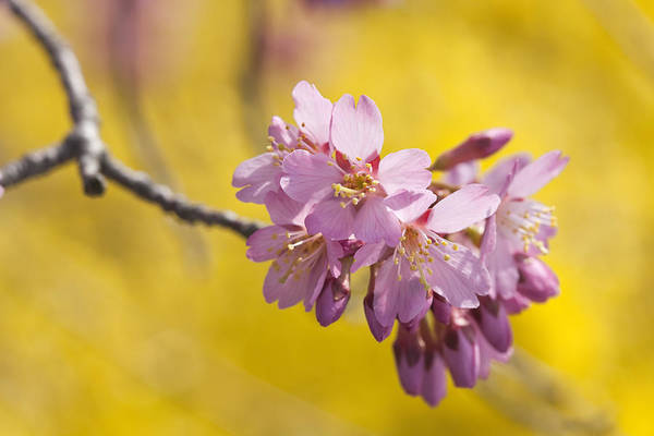 Photograph - Cherry Blossoms Against Yellow by Denise Bush