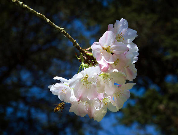Photograph - Cherry Blossoms And Bee by Bonnie Follett
