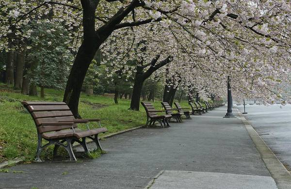 Biota Photograph - Cherry Blossoms And Benches by Brian Kamprath