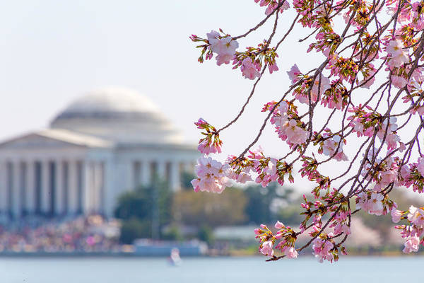 Cherry Blossoms And Jefferson Memorial Art Print