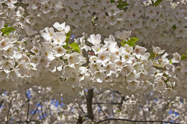 Photograph - Spring Blossoms by Bob Slitzan