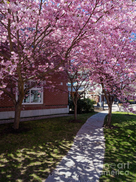 Photograph - Cherry Blossoms, Curtis Memorial Library, Brunswick, Me  -10011 by John Bald