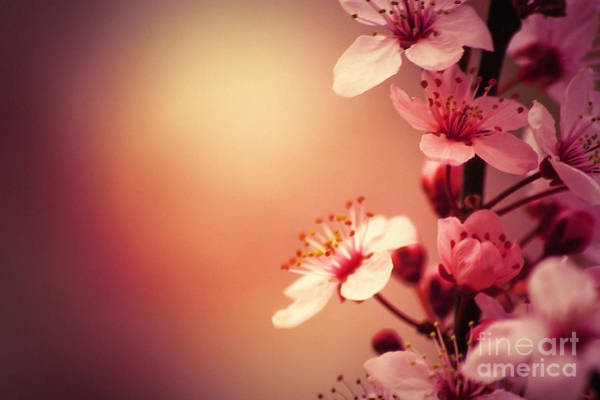 Photograph - Cherry Blossoms by Dimitar Hristov