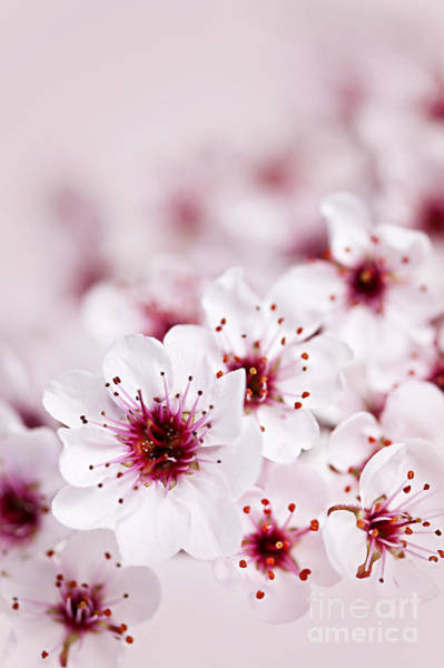Cherry Photograph - Cherry Blossoms by Elena Elisseeva