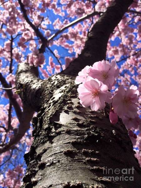 Wall Art - Photograph - Cherry Blossoms by Hanni Stoklosa