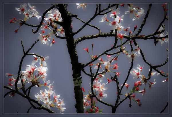 Photograph - Cherry Blossoms Illuminati by Bonnie Follett