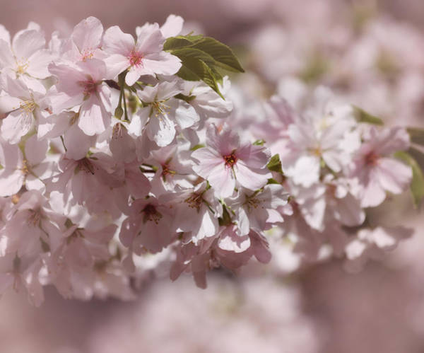 Photograph - Cherry Blossoms In Spring by Kim Hojnacki