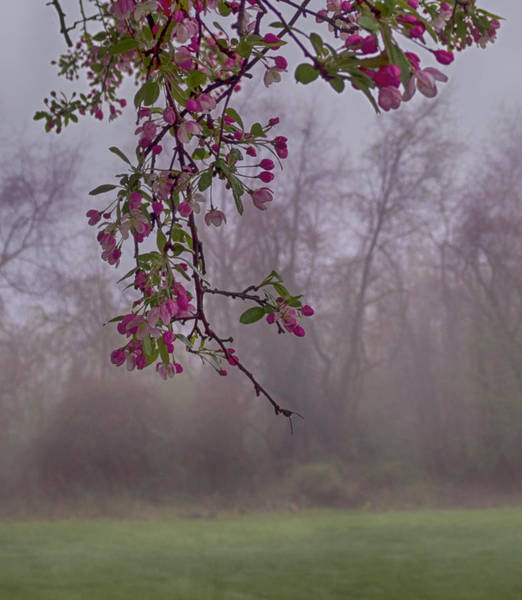 Wall Art - Photograph - Cherry Blossoms In The Fog by Denise Harty