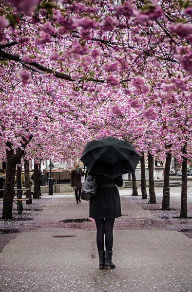 Photograph - Cherry Blossoms In The Rain by Robin Zygelman