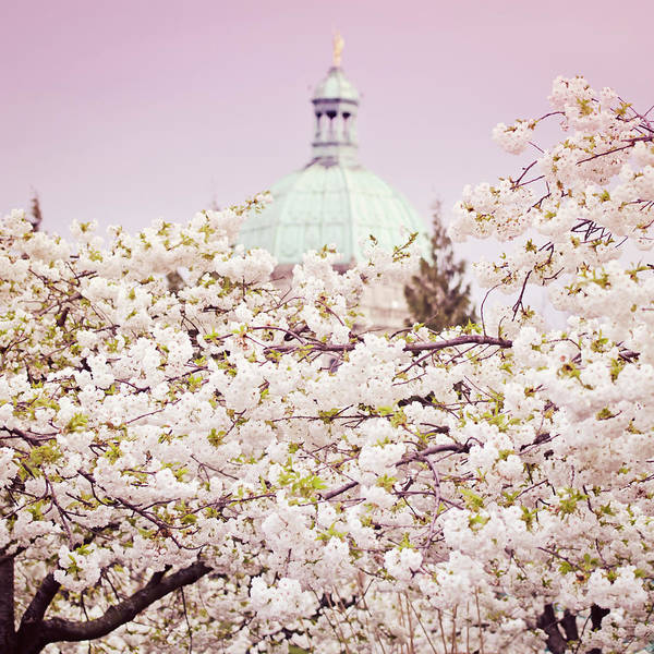 Victoria Bc Wall Art - Photograph - Cherry Blossoms In Victoria  by Margaret Goodwin