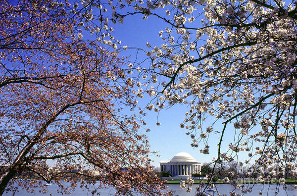 Photograph - Cherry Blossoms Jefferson Memorial by Thomas R Fletcher