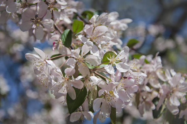 Photograph - Cherry Blossoms by Joan Carroll