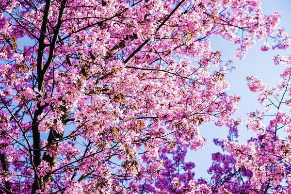 Photograph - Cherry Blossoms by Marina Usmanskaya