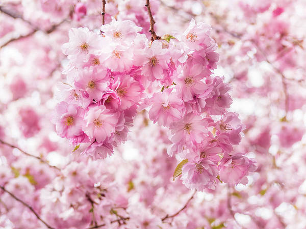 Photograph - Cherry Blossoms by Robin Zygelman