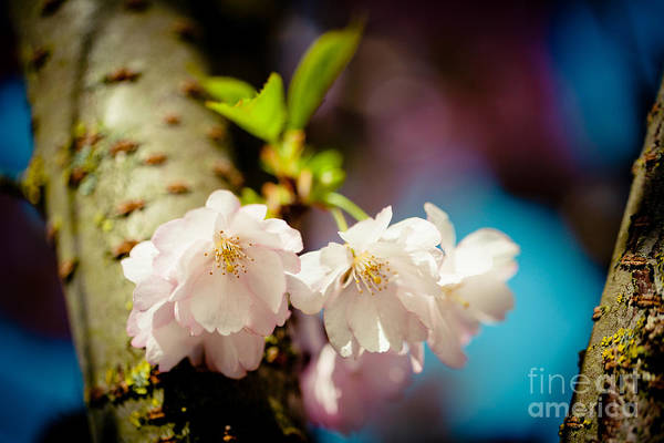 Photograph - Cherry Blossoms Sakura  by Raimond Klavins
