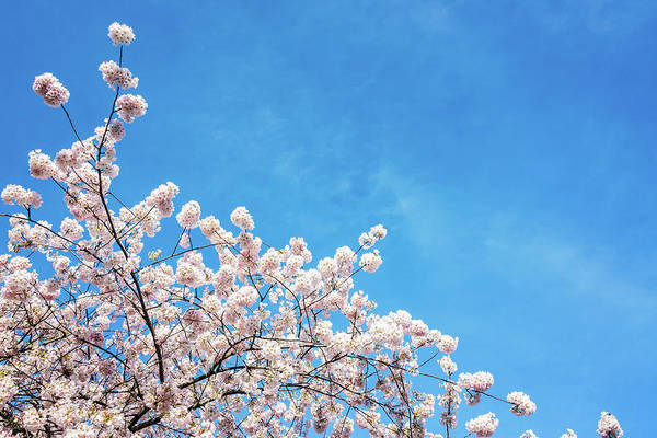 Burnside Bridge Photograph - Cherry Blossoms View by Jess Kraft