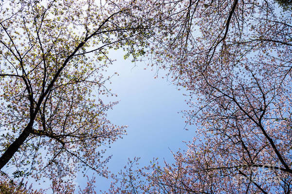 Photograph - Cherry Blossoms by Voisin Phanie