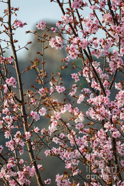 Photograph - Cherry Blossoms With Sugarloaf Winona Minnesota by Kari Yearous