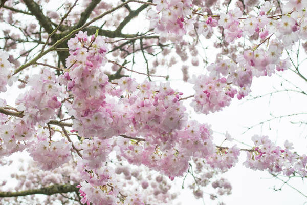 Photograph - Cherry Delight by Crystal Hoeveler