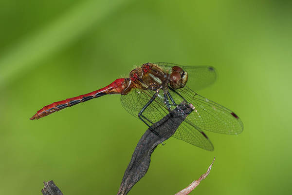 Photograph - Cherry-faced Meadowhawk by Robert Potts
