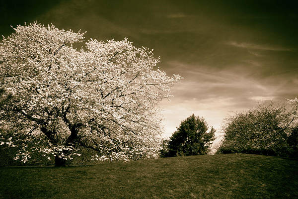 Photograph - Spring Cherry In Sepia by Jessica Jenney