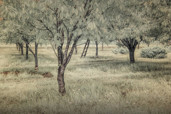 Photograph - Cherry Orchard In Infrared by Randall Nyhof