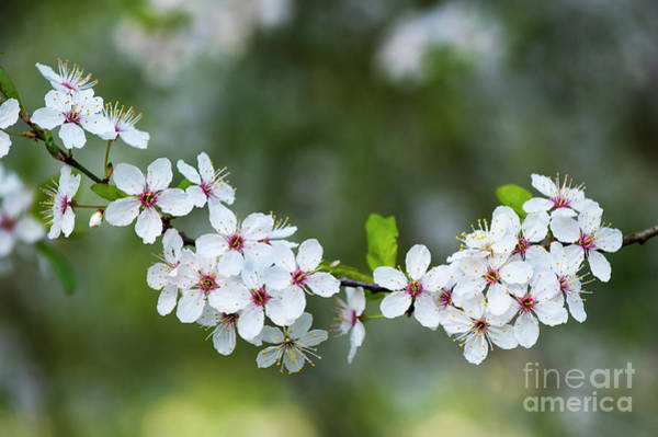 Wall Art - Photograph - Cherry Plum Blossom In Spring by Tim Gainey