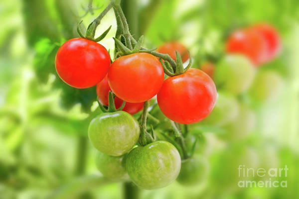 Vegetable Garden Photograph - Cherry Tomatoes by Delphimages Photo Creations