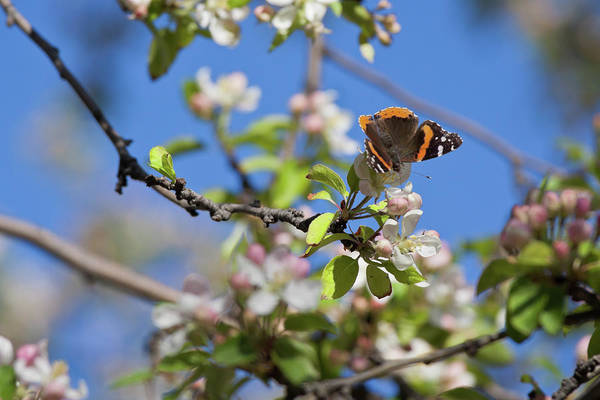 Monarch Butterfly On Cherry Tree Art Print
