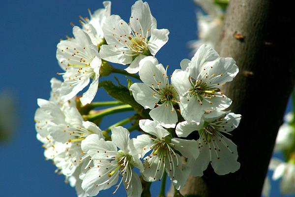 Photograph - Cherry Tree Blossom by Emanuel Tanjala