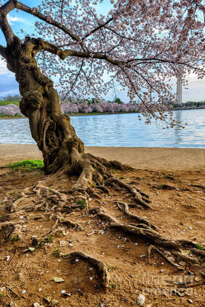 Photograph - Cherry Tree Roots And Monument by Thomas R Fletcher