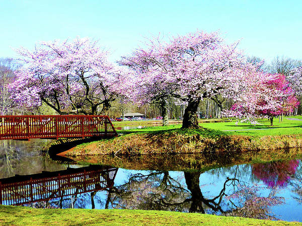 Photograph - Cherry Trees In The Park by Susan Savad
