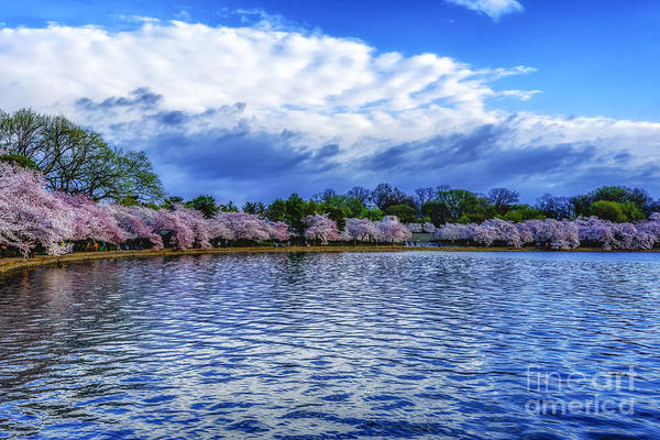 Photograph - Cherry Trees Tidal Basin by Thomas R Fletcher