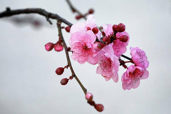 Photograph - Cherry White by Nicholas Blackwell