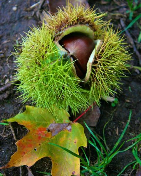Photograph - Chestnut Fresh From The Tree by Polly Castor