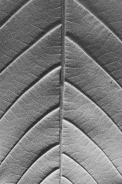Leaf Venation Wall Art - Photograph - Chestnut by Jim Occi
