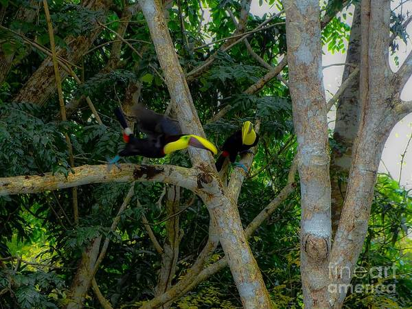 Chestnut-mandibled Toucans Art Print