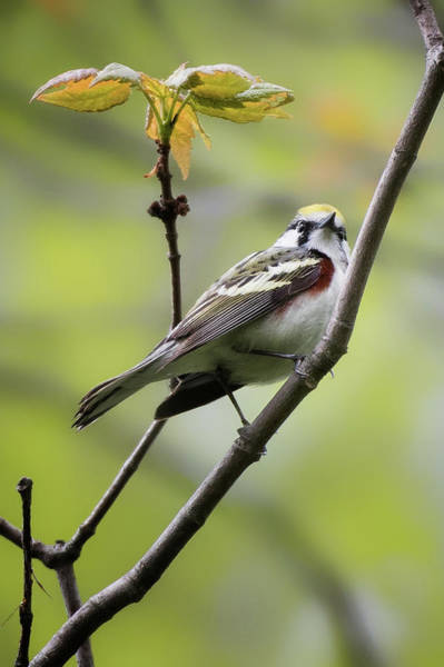 Photograph - Chestnut Sided Warbler 2 by Bill Wakeley