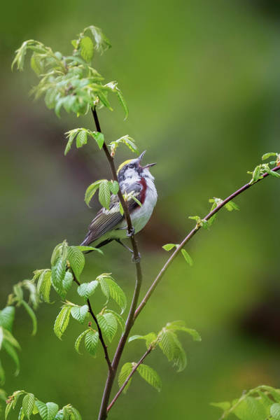 Photograph - Chestnut Sided Warbler Calling by Bill Wakeley