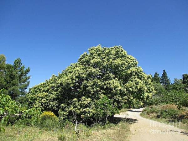 Photograph - Chestnut Tree Near Lanjaron by Chani Demuijlder
