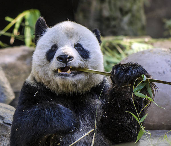 Photograph - Chewing The Bamboo by William Bitman