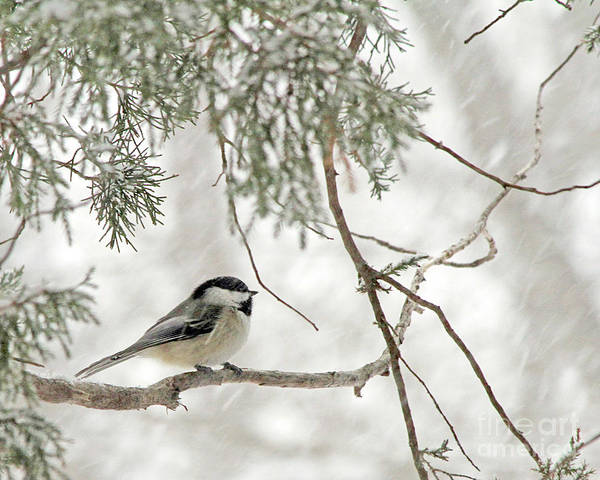 Photograph - Chicadee In A Snow Storm  by Paula Guttilla
