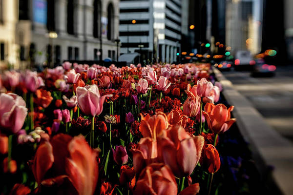 Photograph - Chicago Tulips In Morning Sun  by Sven Brogren
