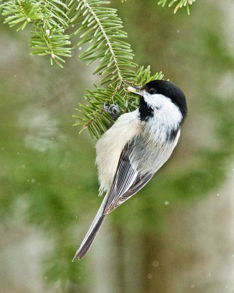 Wall Art - Photograph - Chickadee 0668 by Michael Peychich