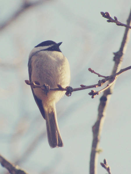 Chickadees Photograph - Chickadee by Amy Tyler