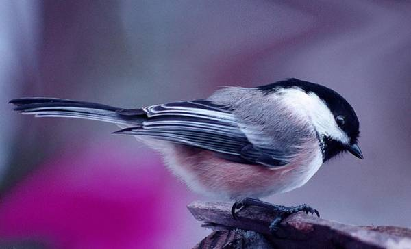 Photograph - Chickadee by Arthur Miller
