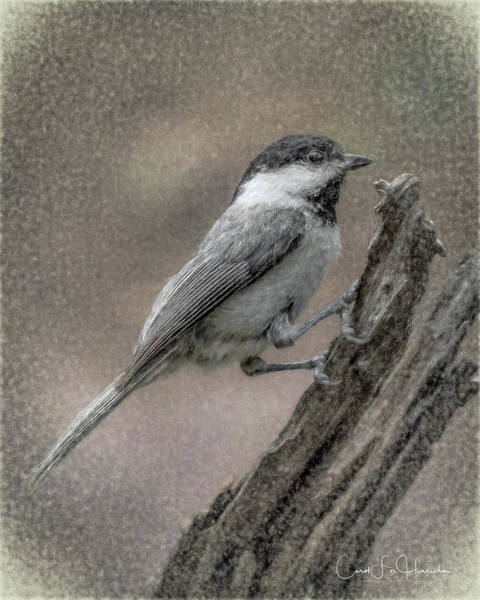 Digital Art - Chickadee by Carol Fox Henrichs