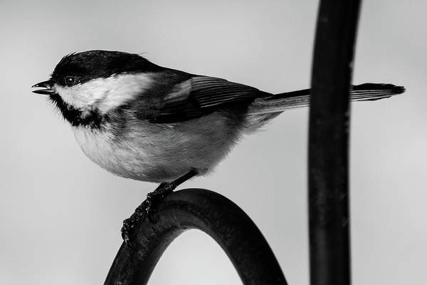Photograph - Chickadee by Darryl Hendricks