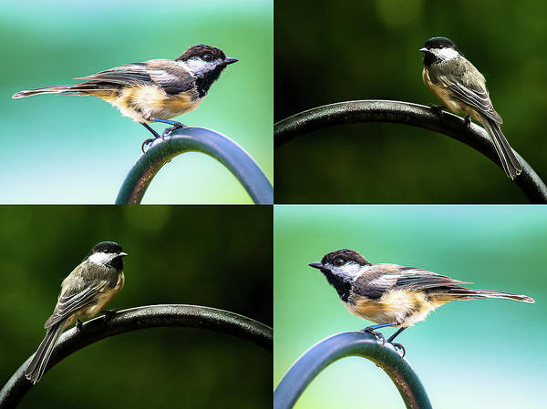 Photograph - Chickadee Duo Composite by Onyonet  Photo Studios